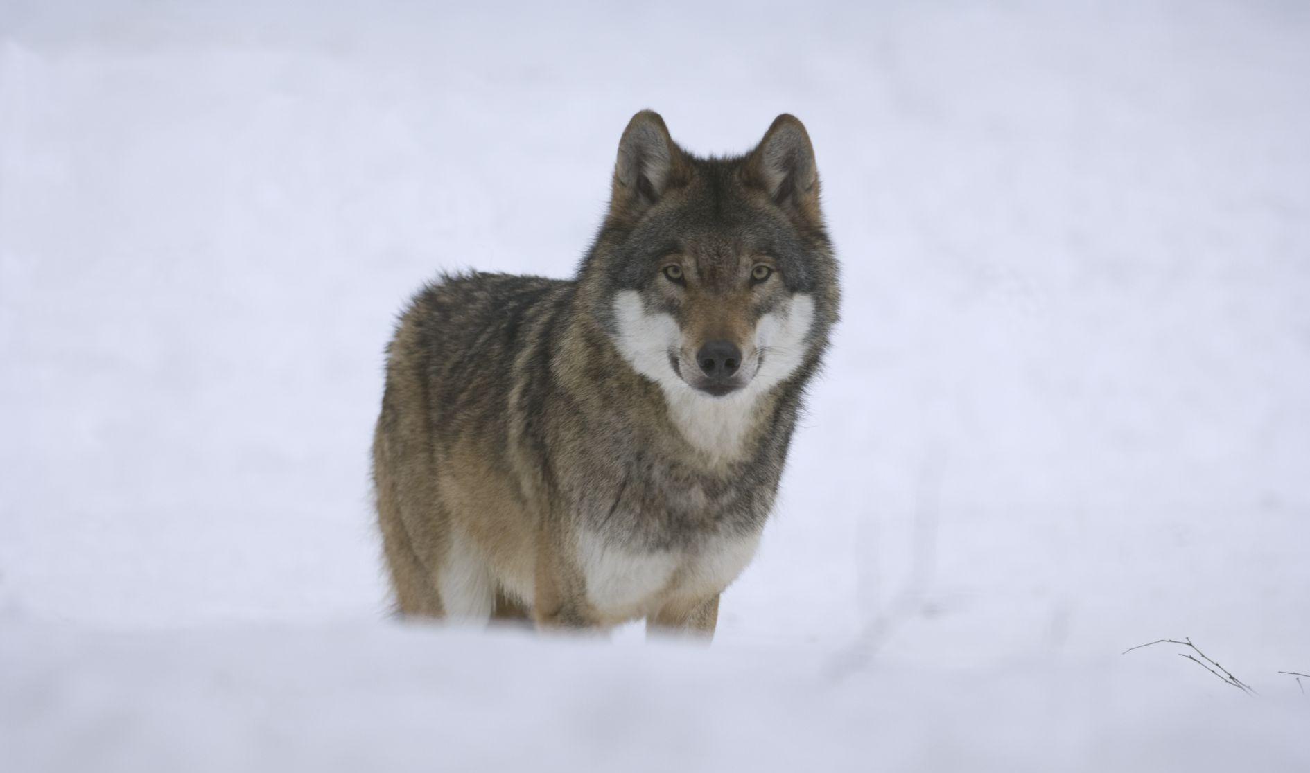 Wölfe und Wald im Schnee